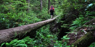 A man walks across a log into the distance. He is surrounded by large trees and ferns and is wearing a red backpack.