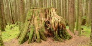 old moss-covered tree stump in young tree stand