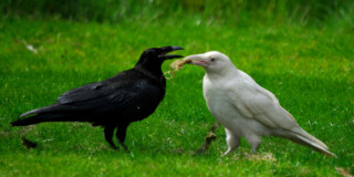A black raven and white raven stand on green grass and tussle over the same bit of food.