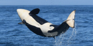 A baby orca jumps out of the water on a sunny day.