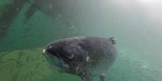 A salmon that is covered with lice swims with wild fish inside a net.