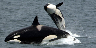 Two orcas play in the sea.